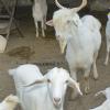 granja_escuela_cabras