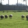 granja_escuela_ovejas