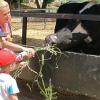 granja_escuela_vaca